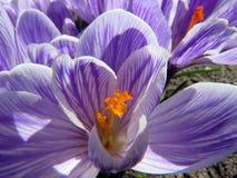 Açafrões roxos de florescência Imagem de Stock