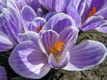 Açafrões roxos de florescência Fotografia de Stock Royalty Free