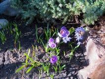 Açafrões roxos de florescência Fotos de Stock Royalty Free