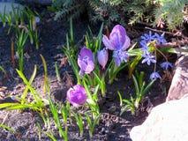 Açafrões roxos de florescência Imagens de Stock Royalty Free