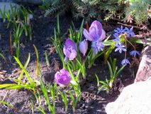 Açafrões roxos de florescência Fotografia de Stock