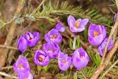 Açafrões roxos de florescência Imagens de Stock