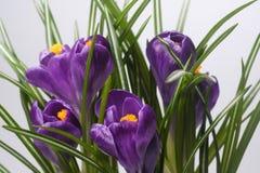 Açafrões roxos de florescência do macro do close up isolados Fotografia de Stock