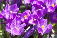 Açafrões roxos de florescência em um dia ensolarado da mola Foto das plantas com pétalas violetas, foco seletivo Fotos de Stock Royalty Free