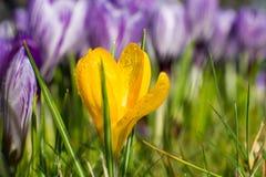 Açafrões roxos do amarelo do amd Paisagem da mola Imagens de Stock Royalty Free