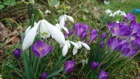 Açafrões roxos 2 dos snowdrops brancos da mola Foto de Stock