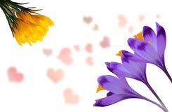 Açafrões roxos e amarelos bonitos no fundo branco com corações cor-de-rosa Fotos de Stock