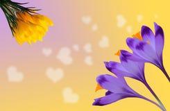 Açafrões roxos e amarelos bonitos no fundo colorido com corações brancos Imagem de Stock