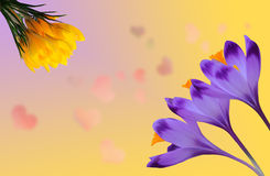 Açafrões roxos e amarelos bonitos no fundo colorido com corações cor-de-rosa Imagens de Stock Royalty Free