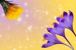 Açafrões roxos e amarelos bonitos no fundo colorido do bokeh Imagem de Stock