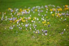Açafrões roxos e amarelos frescos na grama verde Imagem de Stock Royalty Free
