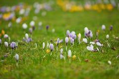 Açafrões roxos e amarelos frescos na grama verde Fotografia de Stock Royalty Free