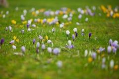 Açafrões roxos e amarelos frescos na grama verde Imagem de Stock