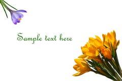 Açafrões roxos e amarelos isolados no fundo branco com espaço da cópia para seu texto Fotografia de Stock Royalty Free