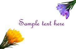 Açafrões roxos e amarelos isolados no fundo branco com espaço da cópia para seu texto Imagens de Stock Royalty Free