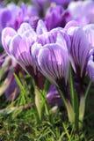 Açafrões roxos e brancos Imagem de Stock Royalty Free