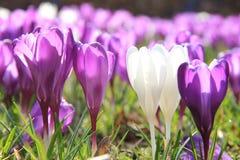 Açafrões roxos e brancos Fotografia de Stock Royalty Free