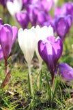 Açafrões roxos e brancos Foto de Stock Royalty Free