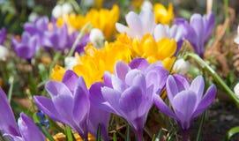 Açafrões roxos e brancos amarelos de florescência Foto de Stock