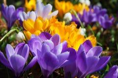 Açafrões roxos e brancos amarelos de florescência Fotos de Stock Royalty Free