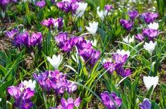 Açafrões roxos e brancos da mola (macro) Foto de Stock Royalty Free
