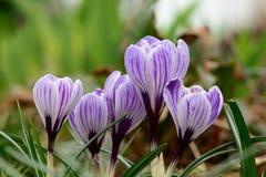Açafrões roxos e brancos na flor Fotos de Stock