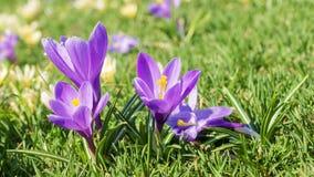 Açafrões roxos em um gramado verde Imagens de Stock Royalty Free
