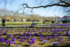 Açafrões roxos em um parque, tempo de mola, Jasne Blonia, Szczecin Imagens de Stock Royalty Free