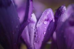 Açafrões roxos em um prado no dia de mola ensolarado A foto macro de gotas de orvalho nas pétalas do açafrão roxo floresce Fotos de Stock