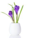 Açafrões roxos em um vaso branco Imagem de Stock Royalty Free