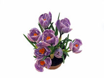 Açafrões roxos em um vaso de flores Imagens de Stock Royalty Free