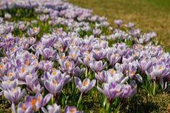 Açafrões roxos em uma grama brilhante da mola Fotos de Stock Royalty Free