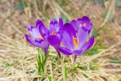 Açafrões roxos entre a grama murcho no foco seletivo Imagem de Stock Royalty Free