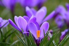 Açafrões roxos na flor Imagem de Stock Royalty Free