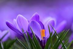 Açafrões roxos na flor Foto de Stock