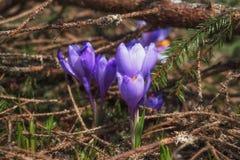 Açafrões roxos na floresta Foto de Stock Royalty Free