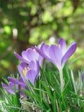 Açafrões roxos na grama Imagens de Stock Royalty Free