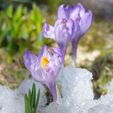 Açafrões roxos na neve Fotos de Stock