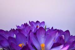 Açafrões roxos no fundo branco Fotos de Stock