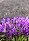 Açafrões roxos no jardim Fotos de Stock Royalty Free