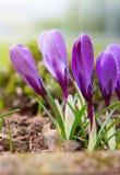 Açafrões roxos no jardim da mola Imagem de Stock Royalty Free