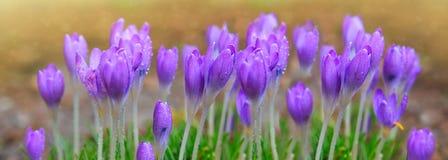 Açafrões roxos no jardim da mola Fundo da mola Fotos de Stock Royalty Free