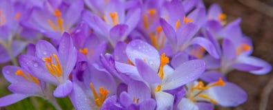 Açafrões roxos no jardim da mola Telemóvel amarelo Imagem de Stock Royalty Free