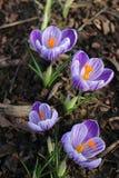 Açafrões roxos no jardim Violet Spring Flowers Fotos de Stock