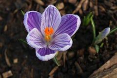 Açafrões roxos no jardim Violet Spring Flowers Fotos de Stock Royalty Free