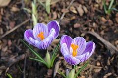 Açafrões roxos no jardim Violet Spring Flowers Imagem de Stock