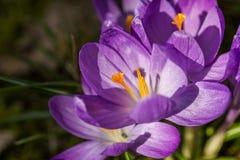 Açafrões roxos que crescem fora Imagem de Stock Royalty Free