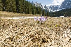 Açafrões (scepusiensis do açafrão) que florescem em um esclarecimento no vale Tatra no Polônia Foto de Stock Royalty Free