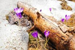 Açafrões selvagens da mola na neve Fotos de Stock Royalty Free