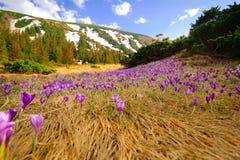 Açafrões selvagens da mola no vale da montanha Fotografia de Stock Royalty Free